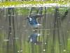 April 13, 2010 - (Simpson Lake County Park [water treatment marsh] / Valley Park, Saint Louis County, Missouri) -- Greater Yellowlegs