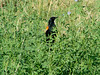 July 3, 2010 - (Creve Coeur County Park [Waterworks Road] / Maryland Heights, Saint Louis County, Missouri) -- Red-winged Blackbird