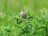 July 4, 2010 - (Columbia Bottom Conservation Area [farm field by gravel road] / Spanish Lake, Saint Louis County, Missouri) -- Grasshopper Sparrow