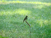 July 9, 2010 - (Missouri Botanical Garden / Saint Louis, Missouri) -- Eastern Wood-Pewee