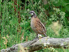 July 4, 2010 (Columbia Bottom Conservation Area [by gravel road] / Spanish Lake, Saint Louis County, Missouri) -- Northern Bobwhite