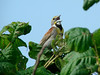 July 3, 2010 - (University of Missouri [Bradford Farm] / Columbia, Boone County, Missouri) -- Dickcissel