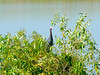 August 1, 2010 - (Riverlands Migratory Bird Sanctuary [Heron Pond] / West Alton, Saint Charles County, Missouri) -- Little Blue Heron
