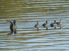 October 20, 2010 - (Simpson Lake County Park [near boat ramp] / Valley Park, Saint Louis County, Missouri) -- American Coots