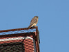 October 7, 2010 - (Parkway Central High School [on baseball scoreboard] / Chesterfield, Saint Louis County, Missouri) -- American Kestrel