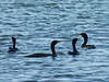 October 2, 2010 - (Riverlands Migratory Bird Sanctuary [Confluence Road] / West Alton, Saint Charles County, Missouri) -- Double-crested Cormorants