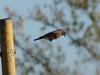 October 20, 2010 - (Simpson Lake County Park [near main parking lot] / Valley Park, Saint Louis County, Missouri) -- Eastern Bluebird in flight, ready to pounce on it's prey