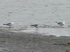 October 23, 2010 - (Riverlands Migratory Bird Sanctuary [Ellis Bay] / West Alton, Saint Charles County, Missouri) -- 1st winter Franklin's Gull between two Ring-billed Gulls