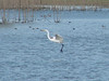 October 23, 2010 - (Confluence Point State Park [flooded field near Confluence Road] / Saint Charles County, Missouri) -- Great Egret coming in for a landing