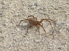 October 24, 2010 - (Forest 44 Conservation Area [horse riding trail] / Fenton, Saint Louis County, Missouri) -- Rabid Wolf Spider [arger than a half dollar from leg to leg]