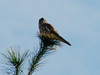 October 4, 2010 - (Parkway Central High School [near tennis courts] / Chesterfield, Saint Louis County, Missouri) -- American Kestrel