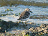 October 2, 2010 - (Riverlands Migratory Bird Sanctuary [Confluence Road] / West Alton, Saint Charles County, Missouri) -- Least Sandpiper