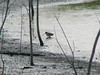October 23, 2010 - (Confluence Point State Park [Confluence Road near entrance signage] / West Alton, Saint Charles County, Missouri) -- Long-billed Dowitcher