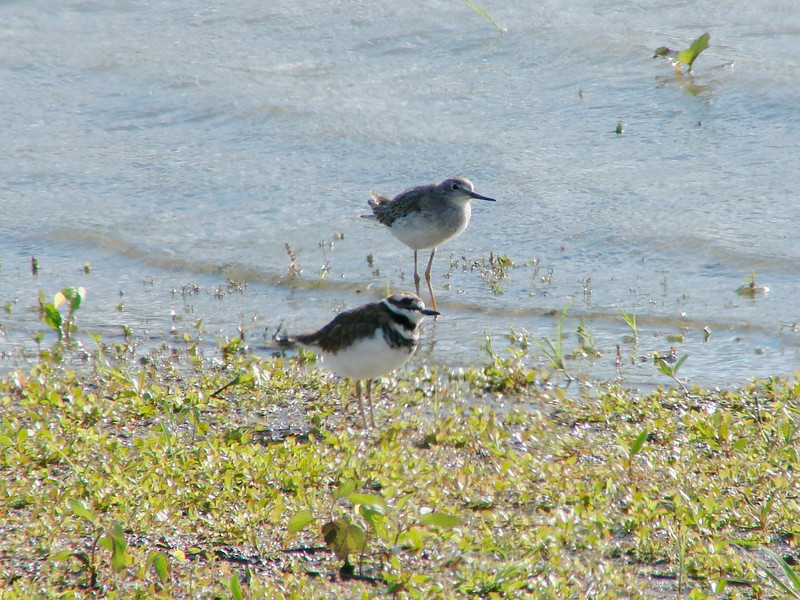 October 2, 2010 - (Riverlands Migratory Bird Sanctuary [Confluence Road] / West Alton, Saint Charles County, Missouri) -- Killdeer in front of Lesser Yellowlegs