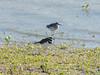 October 2, 2010 - (Riverlands Migratory Bird Sanctuary [Confluence Road] / West Alton, Saint Charles County, Missouri) -- Killdeer in front of Lesser Yellowlegs