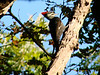 October 3, 2010 - (Rockwoods Reservation [near visitor center] / Wildwood, Saint Louis County, Missouri) -- Female Pileated Woodpecker