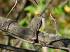 October 28, 2010 - (Simpson Lake County Park [from boat ramp parking lot] / Valley Park, Saint Louis County, Missouri) -- Eastern Phoebe