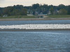 October 2, 2010 - (Riverlands Migratory Bird Sanctuary [Ellis Bay mud-bar] / West Alton, Saint Charles County, Missouri) -- American White Pelicans