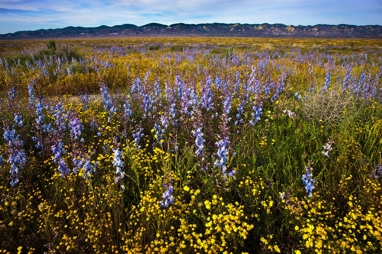 Carrizo Plain.  Wild Delphinium (larkspur) with Temblor Range in the background.