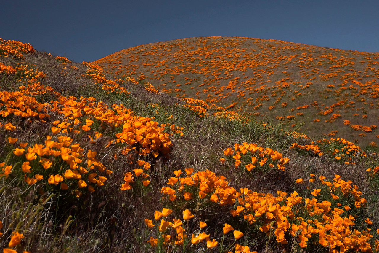 Antelope Valley poppies.