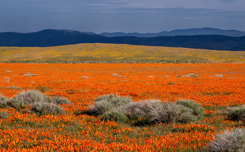 Antelope Valley Poppy Field. 2010.  Furled flowers, late, cool, afternoon.