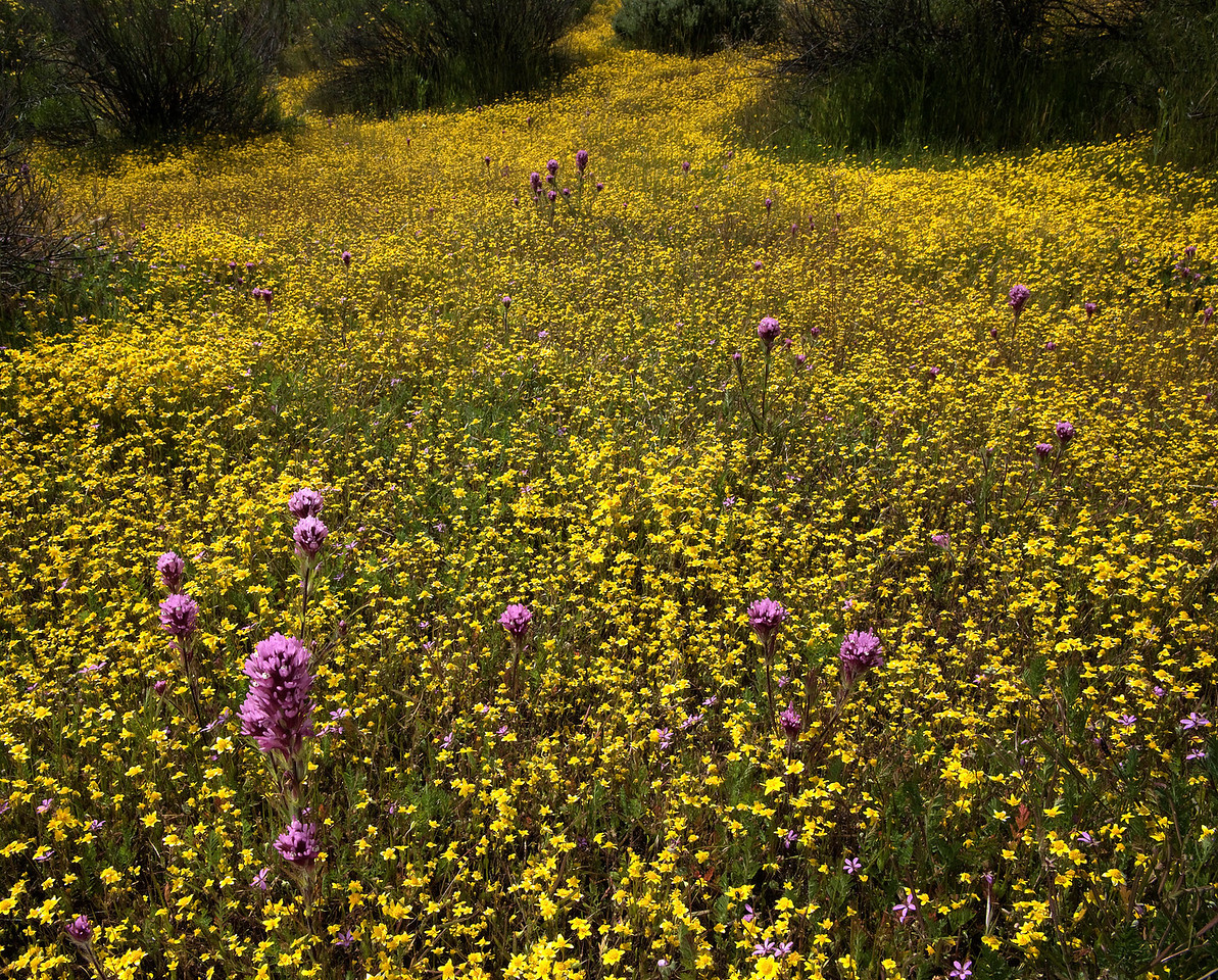 Carrizo Plain.  Owl's clover and goldfields.