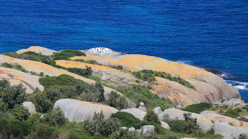 "Montague Island's vegetation was overrun with introduced species. Goats and rats were eliminated, and now Kikuyu grass is being eliminated and replaced by native plants ""section by section"" in a scheme that will take decades to complete. This photo shows rehabilitated vegetation."