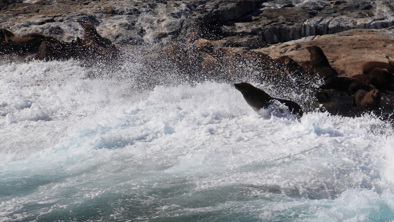 Australian Fur Seal (Arctocephalus pusillus doriferus), looking out from Montague Island.