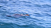 Australian Fur Seal (Arctocephalus pusillus doriferus) swimming upside down off Montague Island.