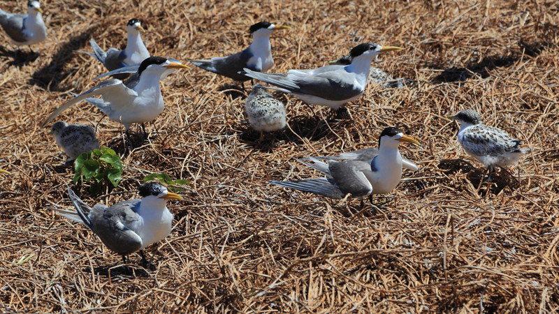 Crested Terns (Sterna bergii) arrive at Montague in spring and form colonies until January.