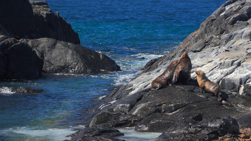 The seal on the left has had its skin torn. Montague Island has both Australian Fur Seals (seen here, brown in colour) and a much smaller number of New Zealand Fur Seals (smaller, grey, solitary and prone to eating penguins).