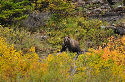 Grizzly bear, Glacier National Park.
