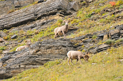 Rams, Glacier National Park.