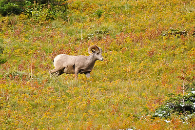 Ram, Glacier National Park.