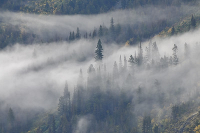 Trees and fog, Glacier National Park.