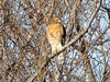 January 2, 2010 - (Howell Island Conservation Area [above levee] / Chesterfield, Saint Louis County, Missouri) -- Red-shouldered Hawk