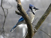 January 3, 2010 - (above backyard feeders over Grand Glaize Creek / Manchester, Saint Louis County, Missouri) -- Blue Jay