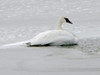 January 1, 2010 - (Riverlands Migratory Bird Sanctuary [Teal Pond] / West Alton, Saint Charles County, Missouri) -- Trumpeter Swan on ice