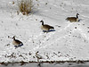 January 9, 2010 - (Unger County Park [Meramec River] / Fenton, Saint Louis County, Missouri) -- Canada Geese