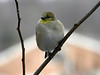 January 3, 2010 - (above backyard feeders over Grand Glaize Creek / Manchester, Saint Louis County, Missouri) -- American Goldfinch