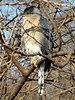 January 1, 2010 - (Columbia Bottom Conservation Area [near slough boardwalk] / Spanish Lake, Saint Louis County, Missouri) -- Cooper's Hawk