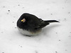 "January 7, 2010 - (below backyard feeders over Grand Glaize Creek / Manchester, Saint Louis County, Missouri) -- ""Slate-colored"" Dark-eyed Junco in the new snow"