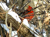 January 9, 2010 - (Powder Valley Conservation Nature Center / Kirkwood, Saint Louis County, Missouri) -- Northern Cardinal on snow