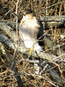 January 5, 2010 (Parkway Central High School [wooded trail] / Chesterfield, Saint Louis County, Missouri) -- Cooper's Hawk