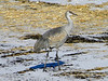 January 2, 2010 - (Howell Island Conservation Area [field by parking lot] / Chesterfield, Saint Louis County, Missouri) -- Sandhill Crane