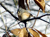 January 2, 2010 - (above backyard feeders over Grand Glaize Creek / Manchester, Saint Louis County, Missouri) -- Tufted Titmouse waiting turn