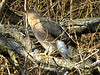 January 5, 2010 - (Parkway Central High School [by wooded trail] / Chesterfield, Saint Louis County, Missouri) -- Cooper's Hawk about to take to flight