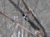 January 8, 2010 - (Weldon Spring Conservation Area [Lost Valley Trail, beaver ponds] / Defiance, Saint Charles County, Missouri) -- Red-headed Woodpecker
