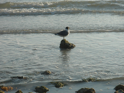 Bird on Rock - Honeymoon Island