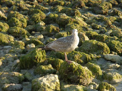 Honeymoon Island seagull